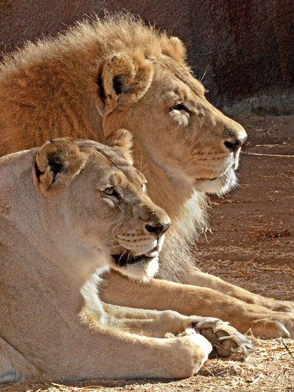 Hubert y Kalisa fueron sometidos a eutanasia a sus 21 años (Foto: Instagram @lazoo)