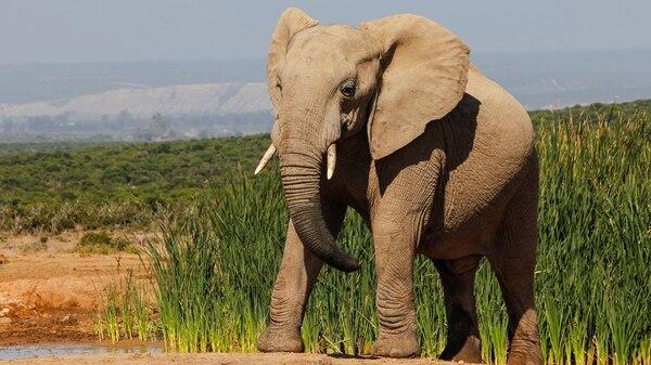 Elefante.Normalmente visto como amistoso, los elefantes a veces han sido conocidos por exhibir un comportamiento impredecible y atacar sin advertencia, matan 500 personas por año 162