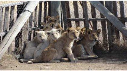 Los cachorros de león y tigres son separados de sus madres para ser criados en cautiverio.