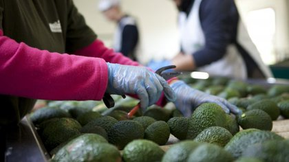 Aguacate Hass. / EFE