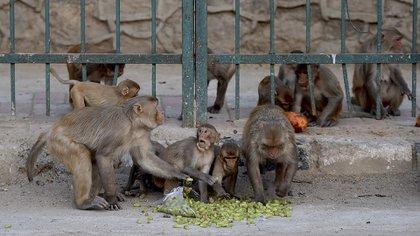 """(FILES) En esta foto de archivo tomada el 10 de abril de 2020, los monos comen frutas en una calle durante un cierre nacional impuesto por el gobierno como medida preventiva contra el coronavirus COVID-19 en Nueva Delhi. - Los monos en India """"atacaron"""" a un trabajador de la salud y se llevaron muestras de sangre para análisis de coronavirus, lo que sembró el temor de que el robo de animales simios pudiera propagar la pandemia en el área local. (Photo by Money SHARMA / AFP)"""