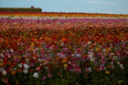 Una pareja mira al horizonte en un campo de flores en Carlsbad, California, durante la pandemia ((REUTERS/Mike Blake)
