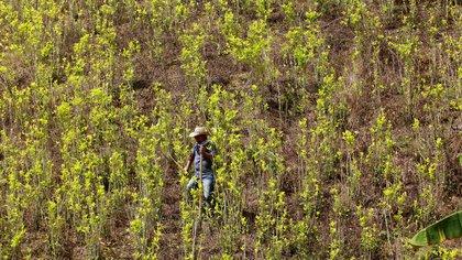 Aprobado en primer debate el proyecto que busca la regulación del Estado en la producción y distribución de la hoja de coca