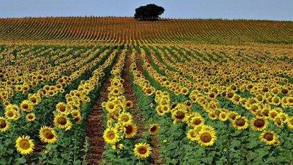 La merma en la molienda de girasol fue como consecuencia de la menor siembra y producción en Chaco.