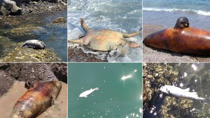 Habitantes de la zona costera de Guaymas, Sonora, compartieron imágenes de los a nimales marinos muertos que se han encontrado tras el derrame de ácido sulfúrico vertido accidentalmente por Grupo México Foto: Facebook