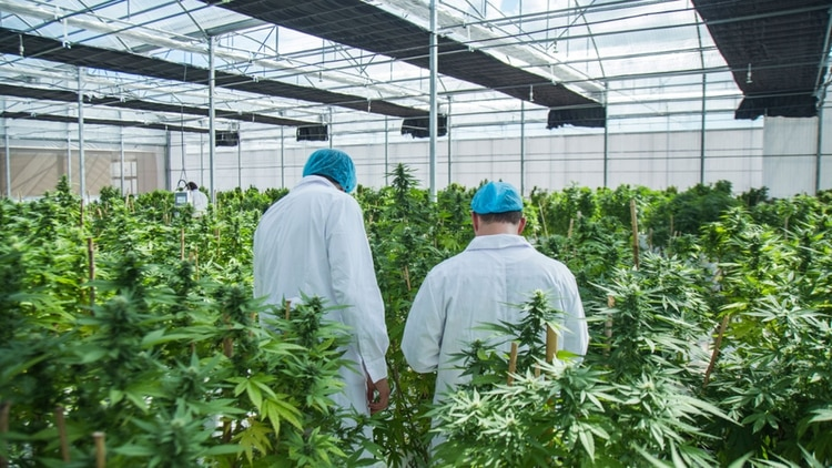 Invernáculo de cannabis de la empresa International Cannabis Corp., en Uruguay