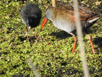 Tingua Bogotana una de las especies endémicas de Colombia que se pueden ver en Bogotá. Foto: Cortesía Secretaría de Ambiente.