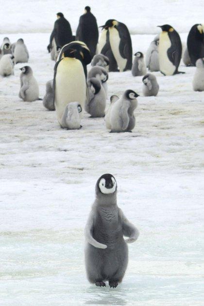 El pingüino emperador puede pesar entre 20 y 45 kilos, es el más grande de las 18 especies
