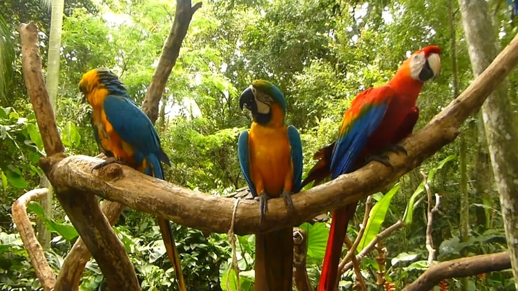 El guacamayo rojo desapareció de los Esteros del Iberá, víctima del mascotismo