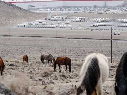 """Wild horses graze in the hills above Tesla's """"Gigafactory"""" at the Tahoe-Reno Industrial Center near Sparks, Nev., on Feb. 25, 2021. The mustangs at the Nevada office park are an example of the outrageous perks that businesses dangle to impress job candidates, but wildlife advocates are pushing back on efforts to market them.  (Ian C. Bates/The New York Times)"""