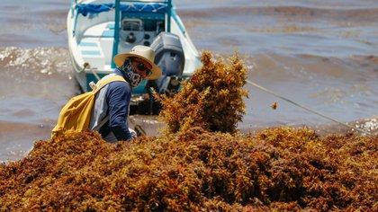 En fotos: el arribo del sargazo en las playas de Quintana Roo