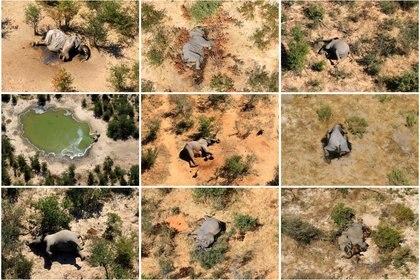 FOTO DE ARCHIVO: Una foto combinada muestra elefantes muertos en el delta del Okavango, Botswana, de mayo a junio de 2020. (REUTERS)
