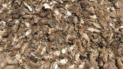 plaga-ratones-australia portada