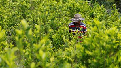 El sicario marginal generalmente empieza cuidando los cultivos de droga (Foto: archivo)