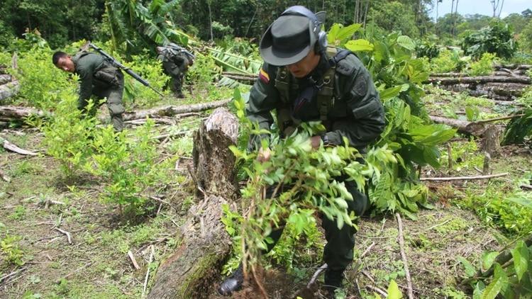 El municipio de Argelia concentra el 71% de las 13.500 hectáreas de coca cultivadas en Cauca.