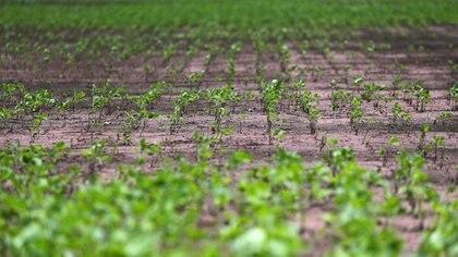 Un campo de soja bonaerense: crecerá y será millones REUTERS/Marcos Brindicci