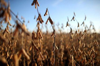 En el caso de la soja, la propuesta del Consejo consiste en retenciones que no superen el 25%, con menores alícuotas para granos diferenciados y manufacturas derivadas (Reuters)