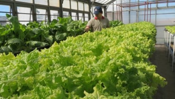 La innovadora técnica agrícola se desarrolla en invernaderos acondicionados
