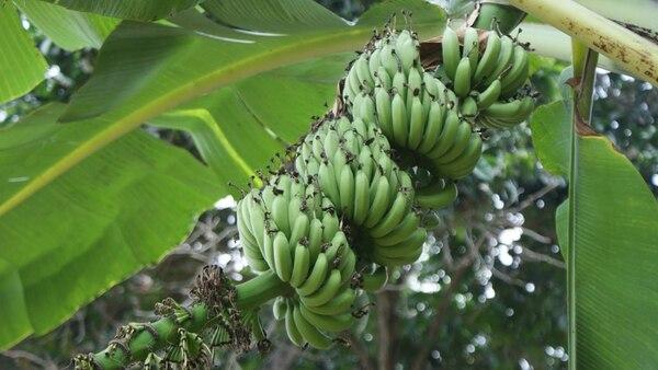 Los productores de Formosa, Salta y Jujuy, le reclaman al Gobierno que regule el ingreso de banana importada porque los perjudica para fijar precios en el inicio de la cosecha.