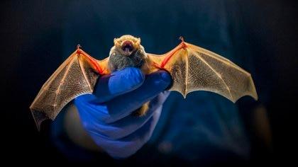 La pandemia por el síndrome respiratorio agudo severo (SARS) fue originada en murciélagos (Shutterstock)