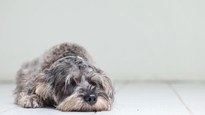 Científicos del CONICET y de la UBA determinaron que la raza de perros schnauzer miniatura son particularmente propensos a infecciones por ciertas micobacterias (iStock)