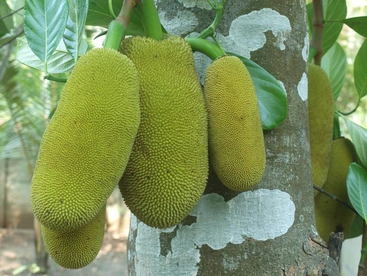 Es la fruta nacional de Bangladés