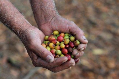 En la forma de infusión caliente de sus semillas tostadas y molidas, el café se consume por su aroma agridulce, su impacto estimulante y su capacidad de vincular socialmente a las personas. (REUTERS/Jorge Dan Lopez)