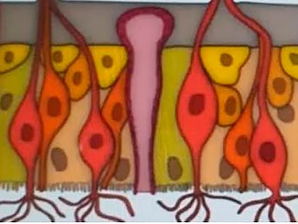Epitelio olfatorio. En color rojo se ven las células olfatorias; en color verde, las células de sostén o sustentaculares; y en color amarillo, las células basales.