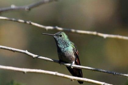 Para los mayas, los colibríes eran la encarnación de las almas de los guerreros (REUTERS)