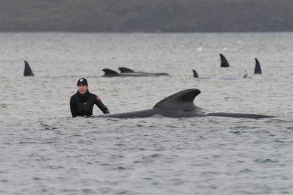 La gente trata de rescatar ballenas piloto varadas en Macquarie Harbour, Tasmania, Australia