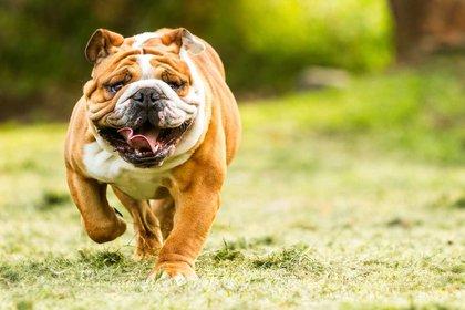 El bulldog inglés fue utilizado originalmente en peleas de perros con toros hasta mediados del siglo XVII