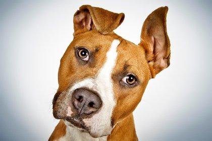 El estudio confirmó que los perros procesan la entonación con el hemisferio cerebral derecho y las palabras con el izquierdo al igual que los seres humanos (iStock)