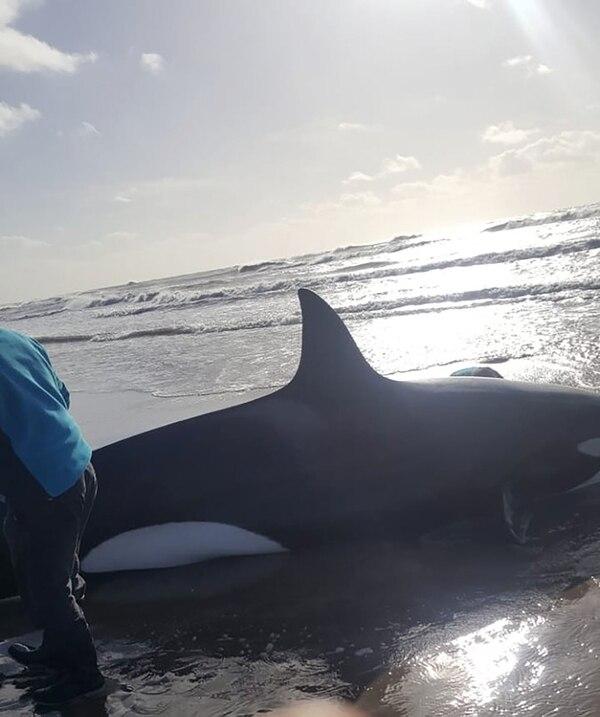 La orca que apareció en Nueva Atlantis (@SangraRosario)