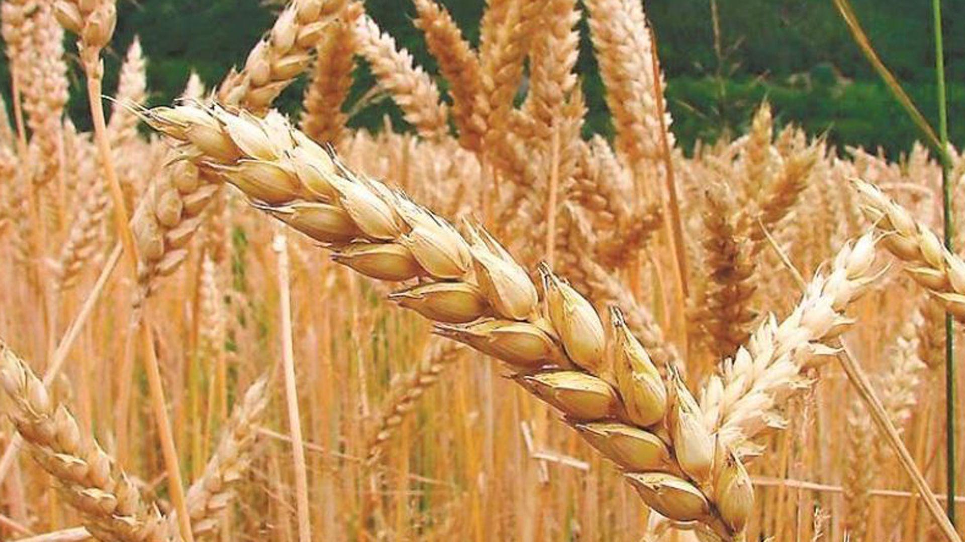 Avanza la cosecha de trigo en la zona núcleo con rendimientos por encima de los proyectados.