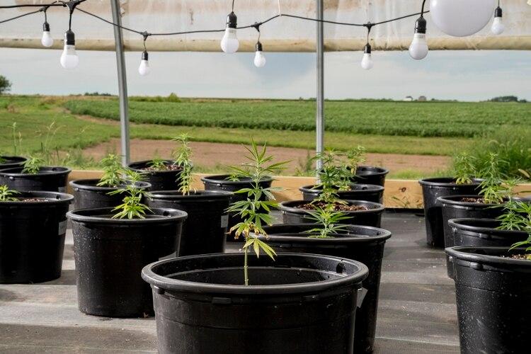 Hemp planta el cáñamo en una parcela de su campo, junto al maíz y la soja, afectado por la guerra comercial con China.