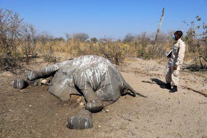 El Dr. Wave Kashweeka, oficial veterinario principal, se encuentra junto al cadáver de un elefante que se encuentra cerca de Seronga, en el delta del Okavango, Botswana, el 9 de julio de 2020. (REUTERS / Thalefang Charles)
