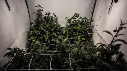 "Técnica de cultivo conocida como ""de interior"" o ""indoor"" (Adrián Escandar)"