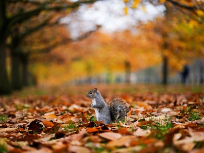 A squirrel sits amongst leaves in Hyde Park during autumnal weather in London, Britain, November 23, 2019. REUTERS/Henry Nicholls