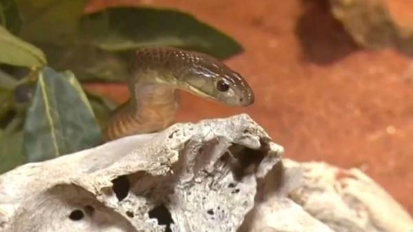 La serpiente marrón es la segunda más mortífera sobre la Tierra. Su veneno es doce veces más poderoso que el de la cobra india