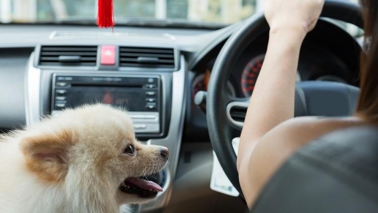 Es importante que los dueños sean rigurosos con el hecho de que la mascota viaje en el asiento trasero (Getty Images)