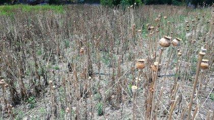 Sus captores los obligaron a trabajar en la siembra de amapola y marihuana. (Foto: Fiscalía de Chihuahua)