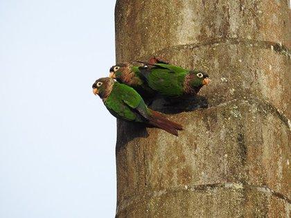 Phyrrura calliptera o periquito amarillo. Foto: Parques Nacionales Naturales de Colombia.