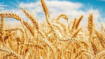 El trigo se complica por el clima adverso. Alas heladas tardías se ha sumado el granizo de octubre. La Bolsa de Comercio de Rosario recortó la estimación de producción.