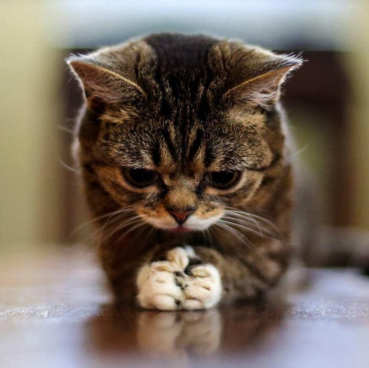 La famosa gatita de internet, dejó legado también en materia de investigaciones genéticas (Foto: Facebook Lil Bub)