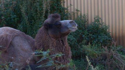 Los camellos superaron largamente la expectativa de vida promedio