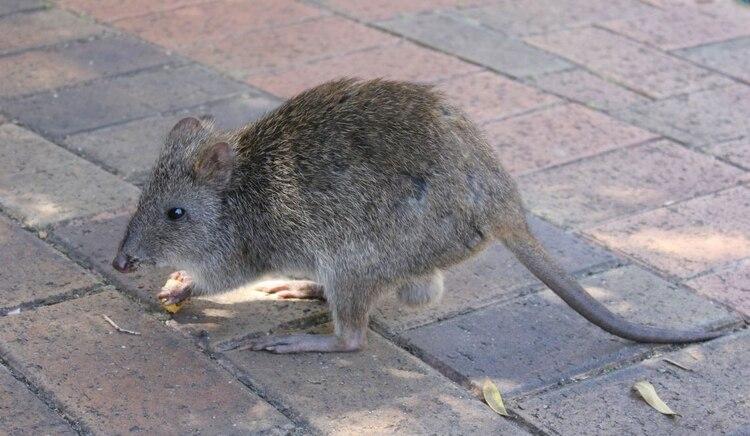 Canguro rata de hocico largo