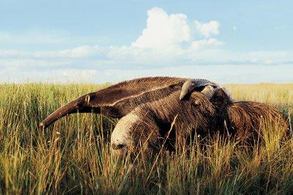 Por su tamaño y calidad de hábitat, esta área de conservación representa una oportunidad única para la reintroducción de especies localmente extintas como el oso hormiguero, el pecarí de collar, el ocelote, el lobo gargantilla y el yaguareté (Rewilding Argentina Argentina)