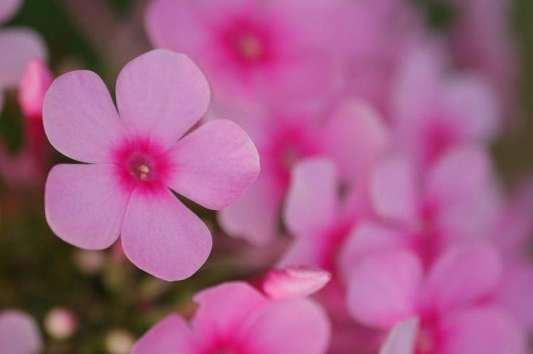 El nombre proviene del musgo rosa, conocido también como flox de tierra silvestre, que en el este de los Estados Unidos es una de las primeras flores que germinan en primavera