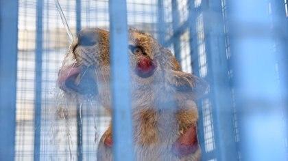 Un equipo de rescatistas pidió previamente autorización al dueño del predio para evitar que los reclamen como robados (Four paws)