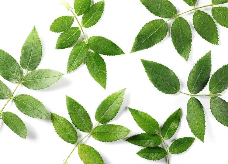 El té verde serviría para el tratamiento precoz en los estadios previos a la enfermedad (Shutterstock)
